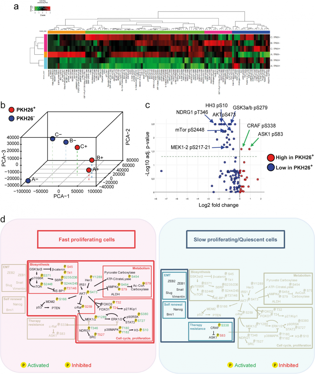Fig. 2 Reverse-phase proteomic analysis of quiescent/slow cycling xenograft cells.